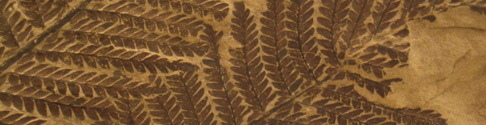 Fossil ferns displayed at the Autun museum (pecopteris), Saône-et-Loire, France. © BRGM - François Michel